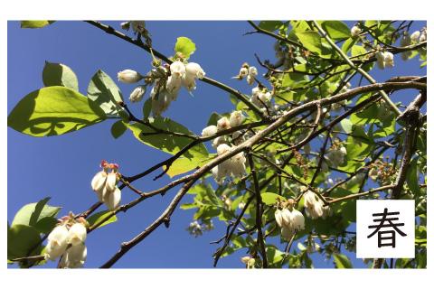 ブルーベリー農園の春の様子