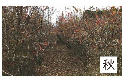 ブルーベリー農園の秋の様子
