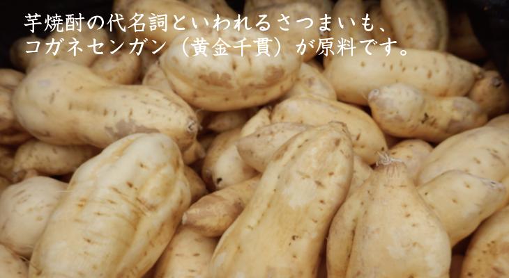 芋焼酎の代名詞といわれるさつまいも、コガネセンガンが原料です
