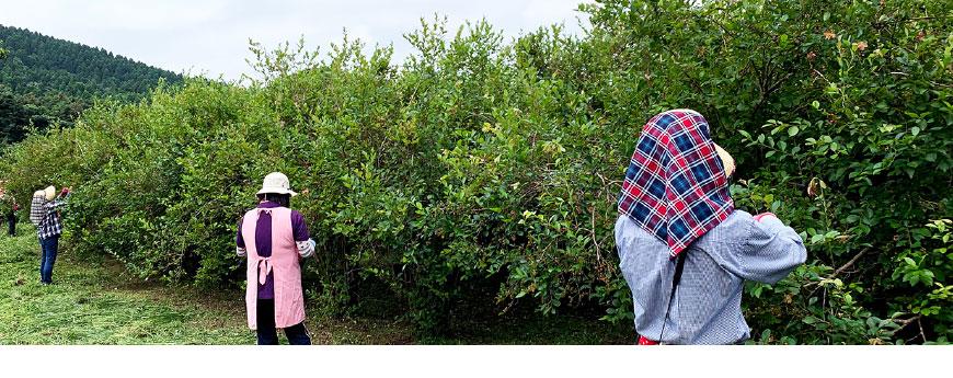 ブルーベリー摘みの風景